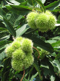 Chestnut tree, detail Stock Image