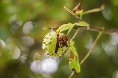 Chestnut on a tree DOF detail. Little opend chestnut on a tree DOF detail Royalty Free Stock Photography