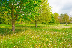 Chestnut tree in a field in spring Royalty Free Stock Image