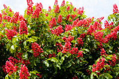 Chestnut tree flowers. Blooming red flowers of a chestnut tree Stock Photo
