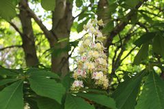 Chestnut tree flowers in spring. Cluster of white chestnut flowers with trees and deep green leaves in the background royalty free stock image