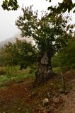 Chestnut Tree With A Form That Is Very Afraid On A Cloudy Day In The Medulas. Halloween, Nature, Travel, Landscapes. November 3, 2018. The Medulas. Leon. Spain royalty free stock photos
