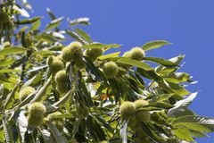 Chestnut tree full of curls and green leaves in a blue sky stock images