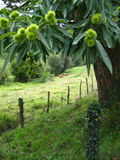 Chestnut tree in green field Stock Photos