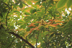 Chestnut tree. Green and yellow chestnut tree with chestnuts in autumn. Aesculus hippocastanum Royalty Free Stock Image