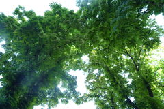 Chestnut tree. Сhestnut tree against the sky Stock Images