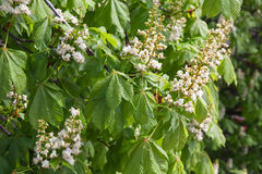 Free Chestnut Tree In Bloom, White Flowers Stock Image - 92243491