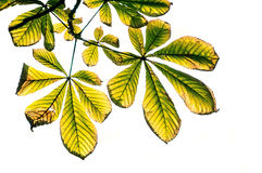 Chestnut tree - isolated Royalty Free Stock Image