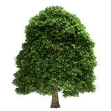 Chestnut Tree Isolated Stock Images