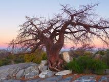 Chestnut tree at Kubu Island Stock Photo