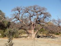Chestnut tree at Kubu Island Stock Photography