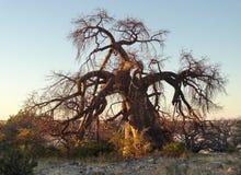 Chestnut tree at Kubu Island Royalty Free Stock Image