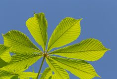 Chestnut tree leaf against blue sky. Green chestnut tree leaf against blue sky royalty free stock images