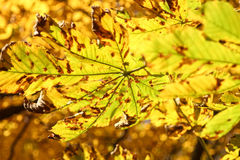 Chestnut tree leafs in autumn Royalty Free Stock Image