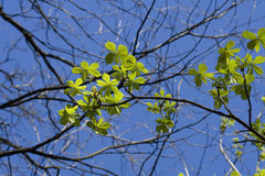 Chestnut tree leaves Royalty Free Stock Photography