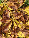 Chestnut tree leaves Royalty Free Stock Image