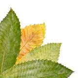Chestnut Tree Leaves. Autumnal chestnut tree leaves at the bottom left. On white Stock Photography