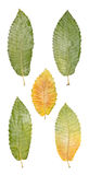 Chestnut Tree Leaves. Many different chestnut tree leaves. Isolated on white Royalty Free Stock Image