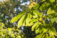 Chestnut tree Stock Image