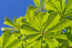 Chestnut tree leaves against blue sky. Green chestnut tree leaves against blue sky stock photo