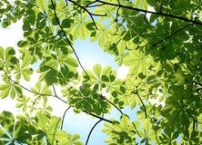 Chestnut tree leaves background Royalty Free Stock Image