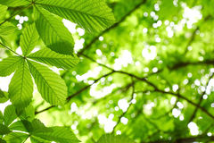Chestnut tree leaves Royalty Free Stock Photos