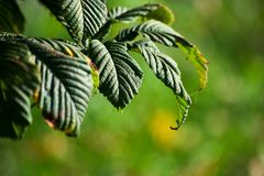 Chestnut tree leaves is on blurred background. Is close royalty free stock photography