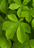 Chestnut tree leaves Stock Images