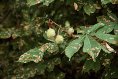 Chestnut Tree Leaves and Moth Royalty Free Stock Photography