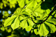 Chestnut tree leaves in the rays of sun. Stock Photos