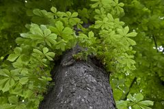 Chestnut tree. The chestnut tree looked from below stock images