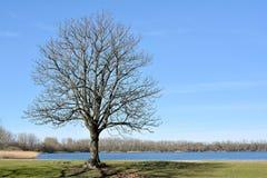 Chestnut tree Royalty Free Stock Photos