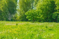Chestnut tree in a meadow in sunlight. In spring stock images