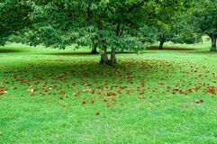 Chestnut tree in an orchard. With ripe chestnuts on green grass. Outdoor with space for text Stock Photo