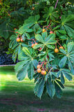Chestnut tree in a park Royalty Free Stock Photos