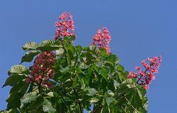 Chestnut tree with pink blossom Royalty Free Stock Photos