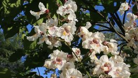 Chestnut tree. The chestnut tree is shot in bulgaria jambol stock video footage