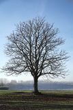 Chestnut tree. Single chestnut tree on a meadow in autumn stock photography