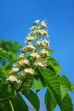 Chestnut tree in spring Stock Photography