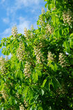 Chestnut tree in spring. Blossoming of the chestnut tree in spring stock images