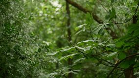 Chestnut tree in summer and wind blowing.  stock footage