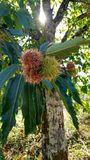 Chestnut tree. With the sunshine royalty free stock photography