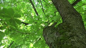 Chestnut tree trunk and sunlight penetrate through leaves. 4K. Aesculus hippocastanum chestnut tree trunk and sunlight penetrate through leaves and blooms in stock footage