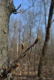 Chestnut tree twig with new green buds, gray blurry forest background and blue sky. Chestnut tree twig with new green buds, gray blurry forest background and royalty free stock photo