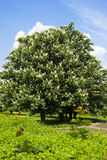 Chestnut tree with white flowers and blue sky Stock Photo