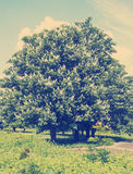 Chestnut tree with white flowers and blue sky Royalty Free Stock Photo