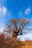 Chestnut Tree in Winter Stock Photography