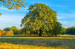 Chestnut tree in a woodland park in Autumn Stock Photography