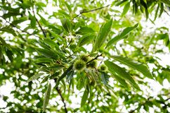 Chestnut in the tree Royalty Free Stock Images