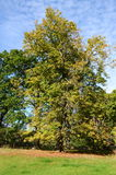 Chestnut trees in autumn Royalty Free Stock Photo